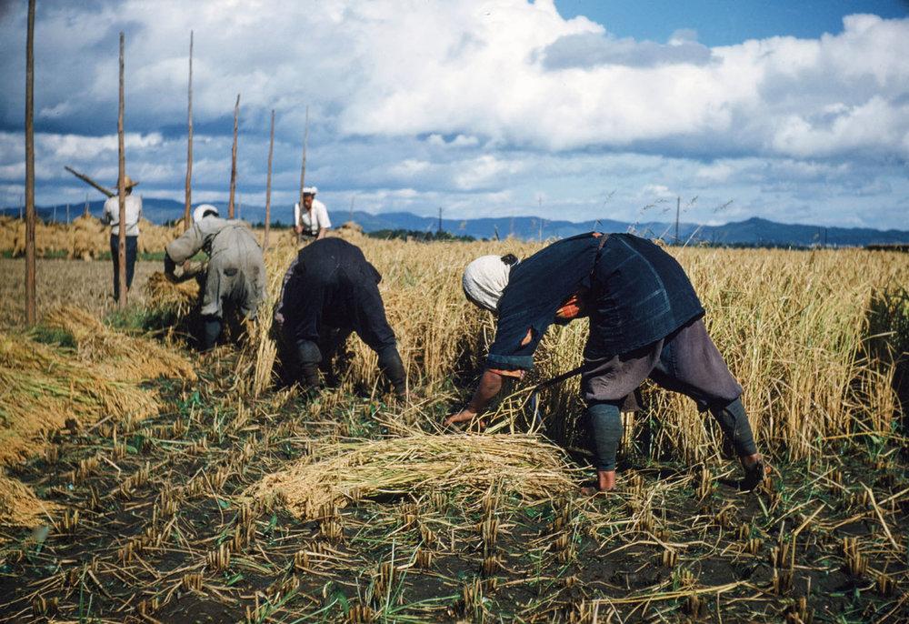 209- Rice Harvest