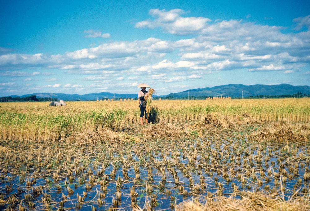 210- Rice Harvest