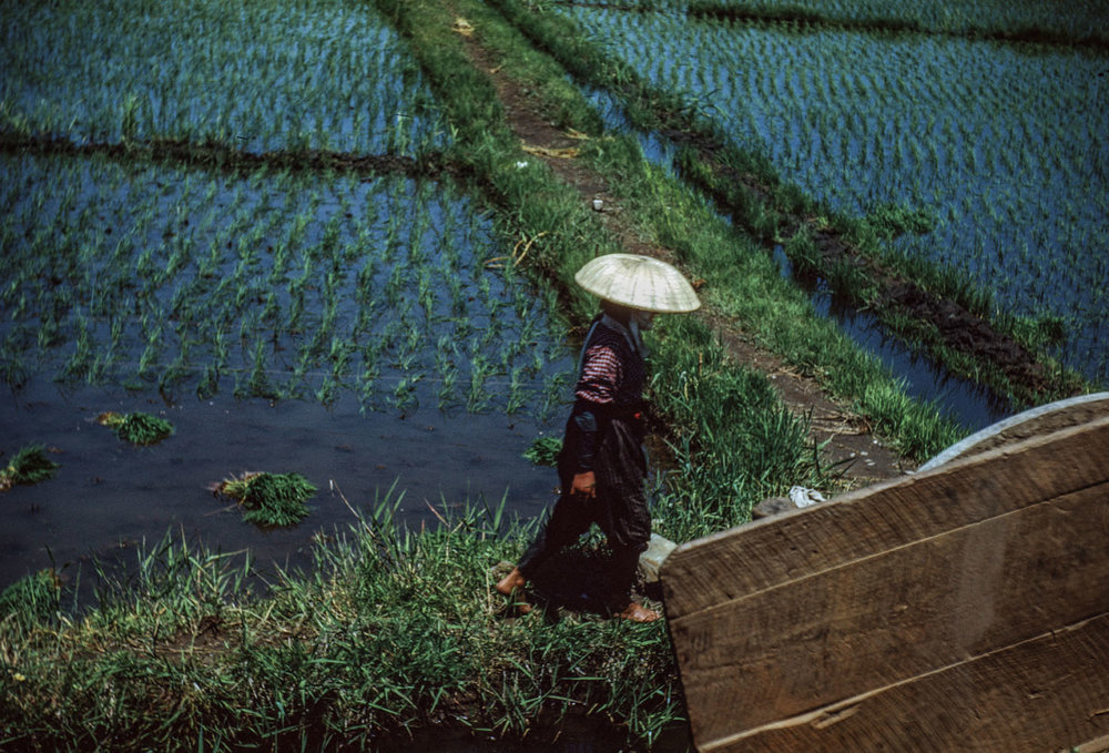 319- Woman in Rice Field