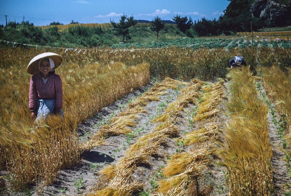 474-Woman in Field during Harvest