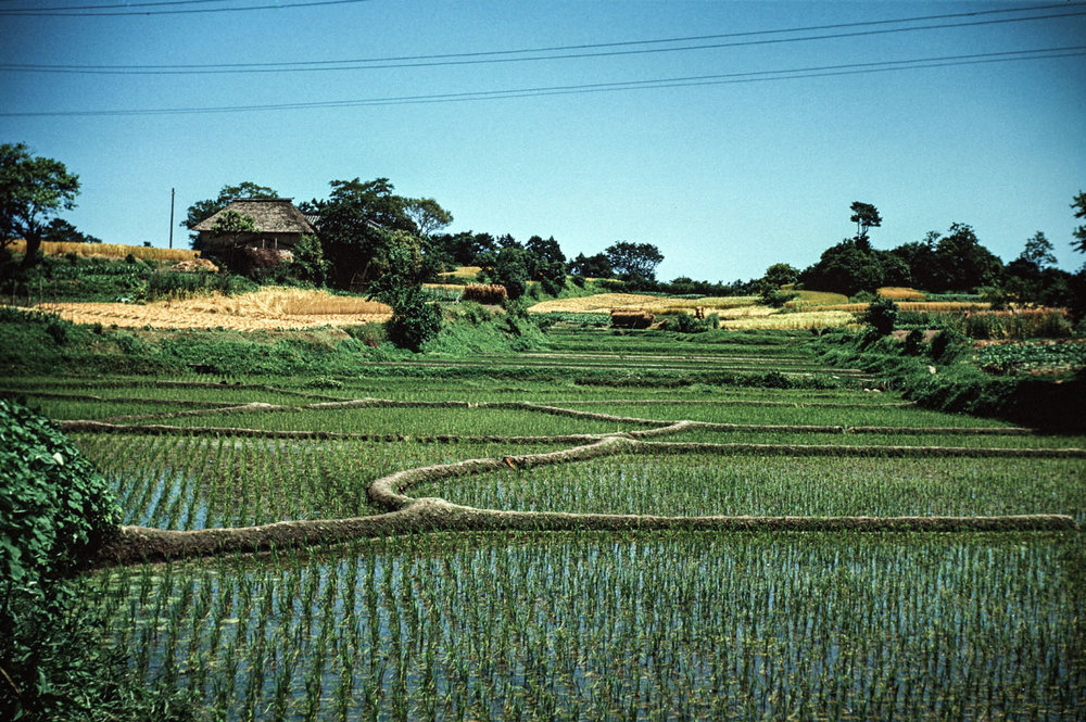 476- Rice Fields
