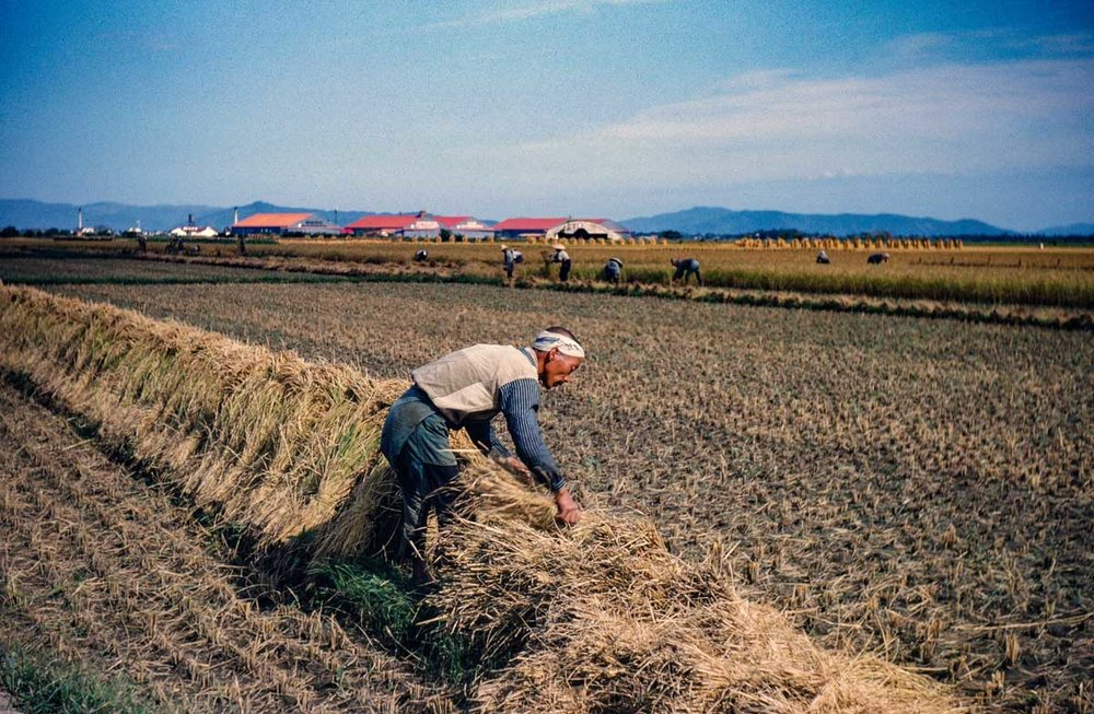575- Rice Harvest, Camp Matsushima in Background