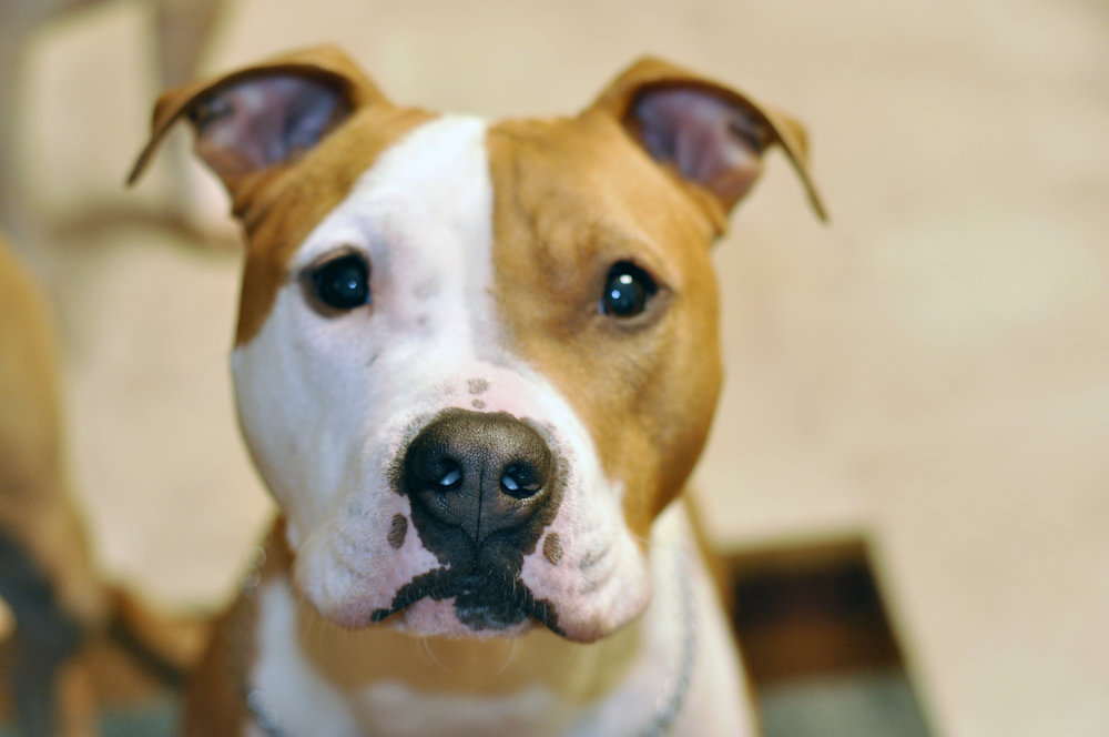Our history - We have been working for pit-bull-type dogs for over 10 years.See how we got started
