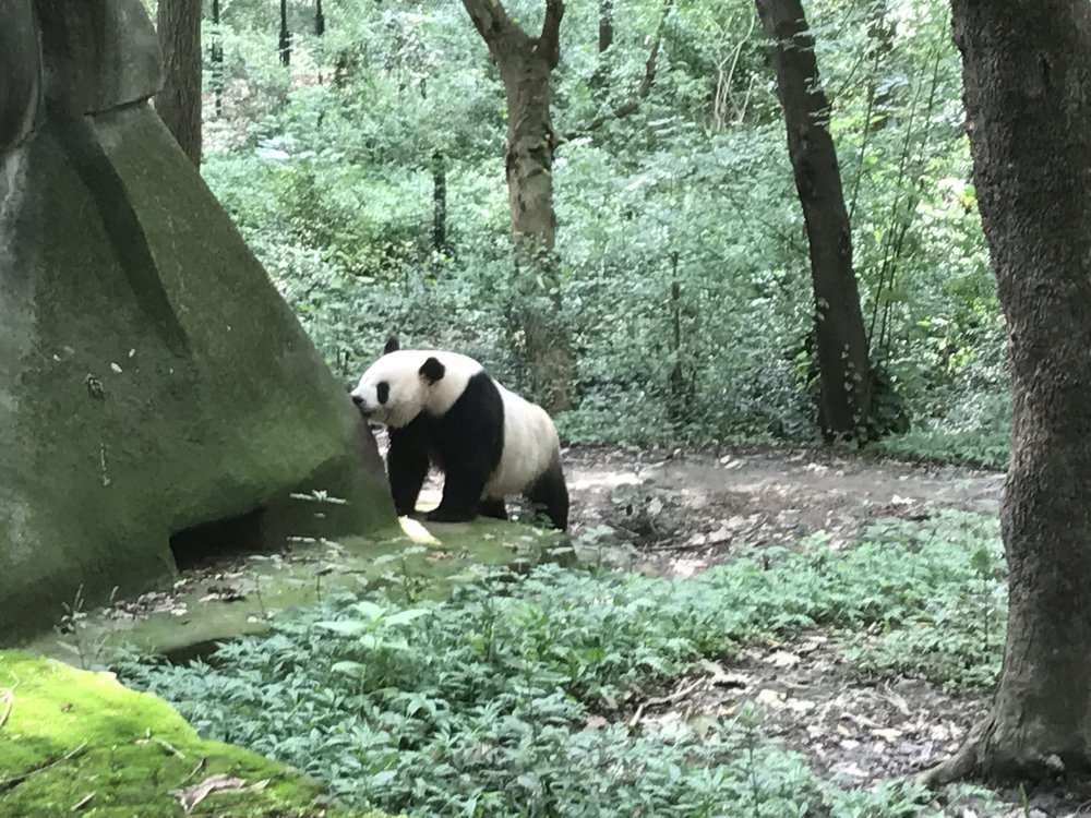 One of the Panda's we saw during our visit!