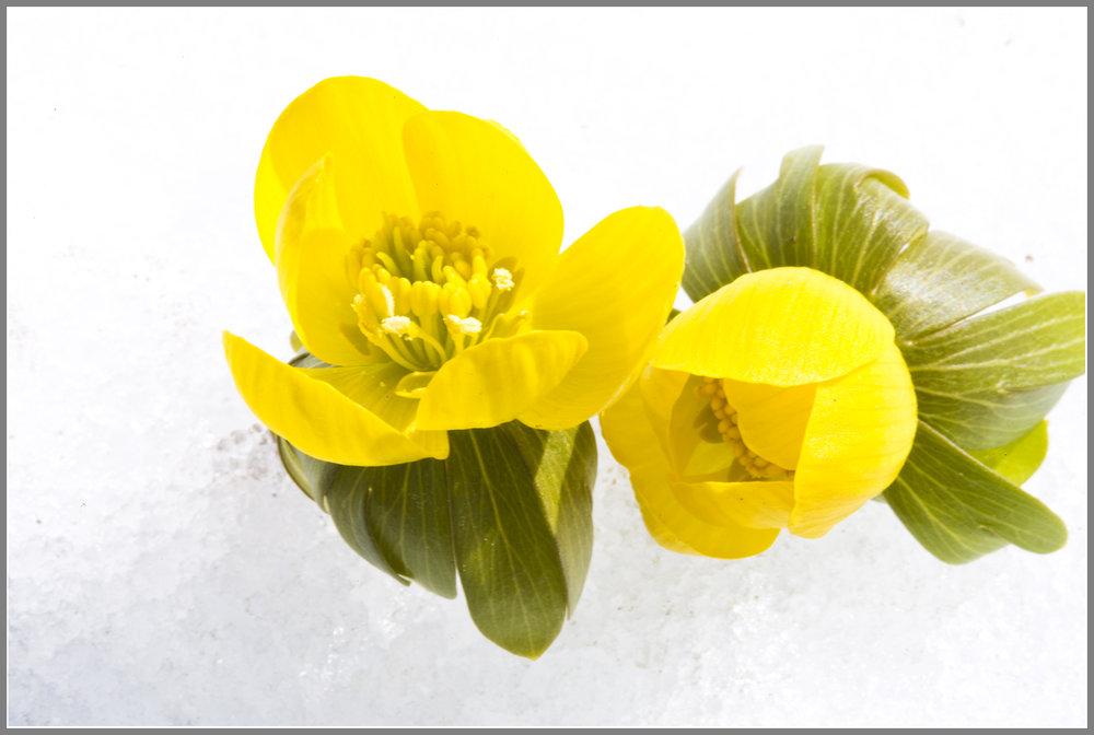 Ranunculus5407jpgs.jpg