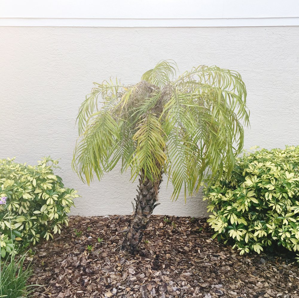 palmtree_palm_tree_florida_floridaliving