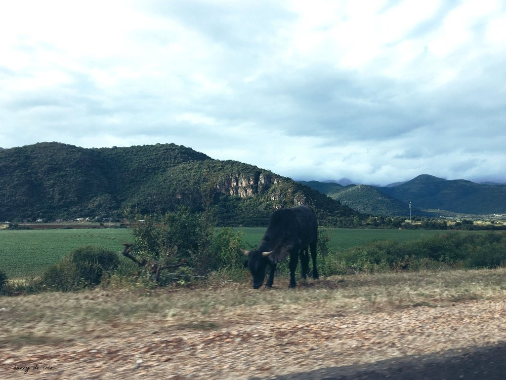 In other news, cows in South Africa are really skinny.