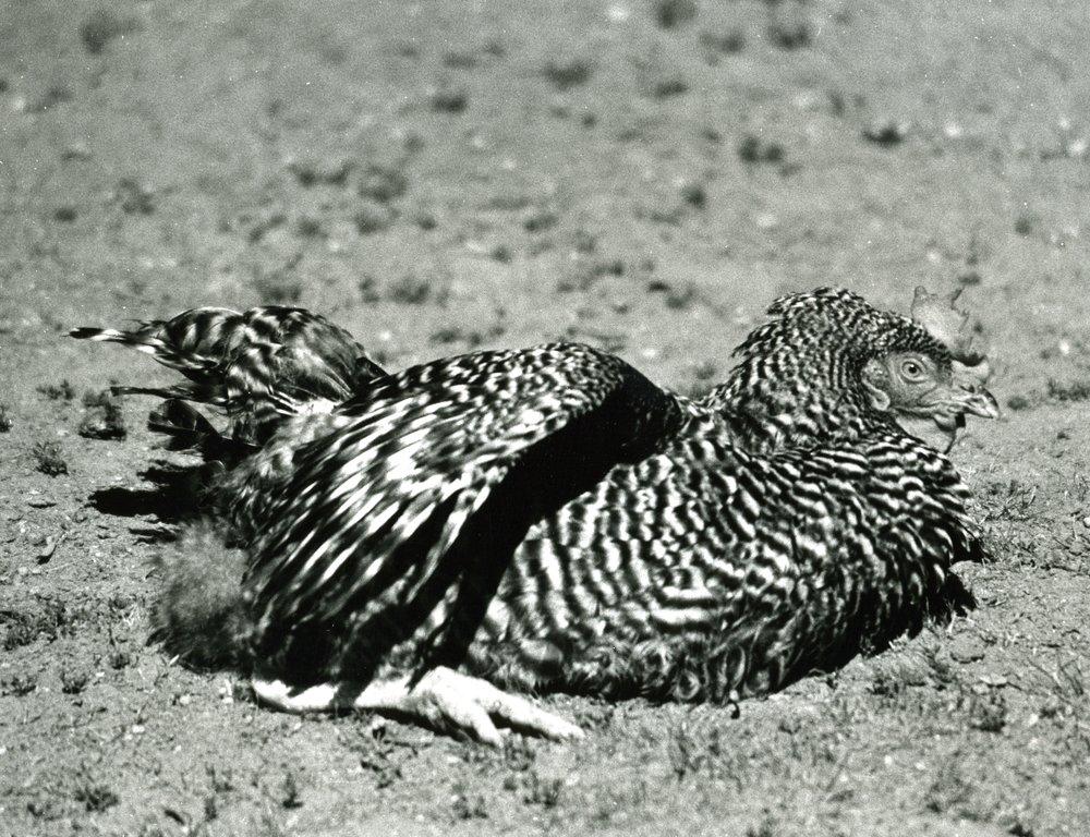 chicken227 2.jpg
