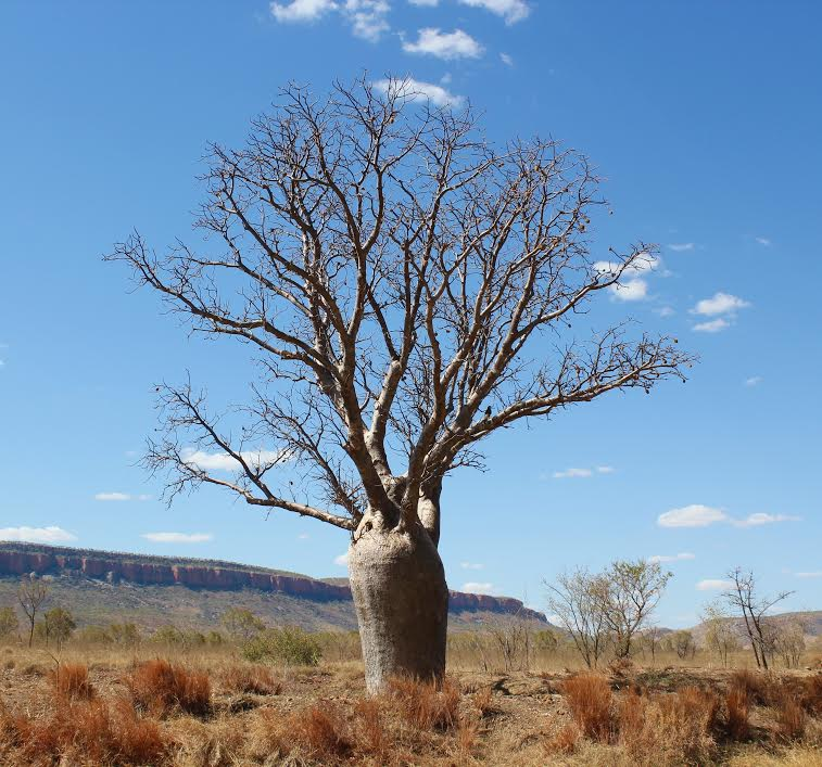 Boab trees on the Gibb River Road
