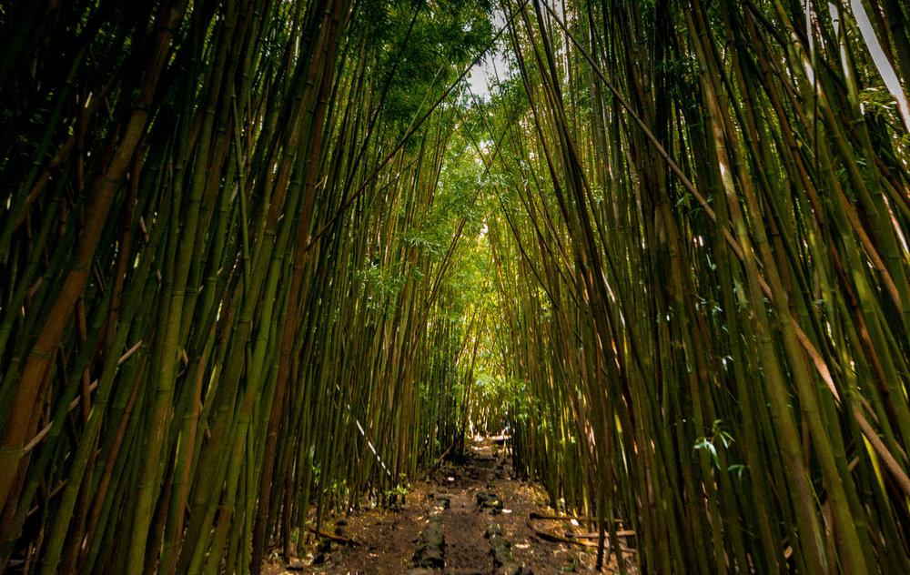 Bamboo Forest - Maui, HI
