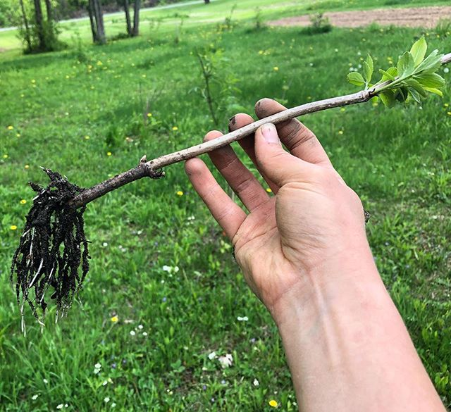 As we enter the second and third season of some of our perennial crops, the plants are now big enough for us to take cuttings in the winter for replanting in the springtime. Check out the roots on this elderberry cutting!