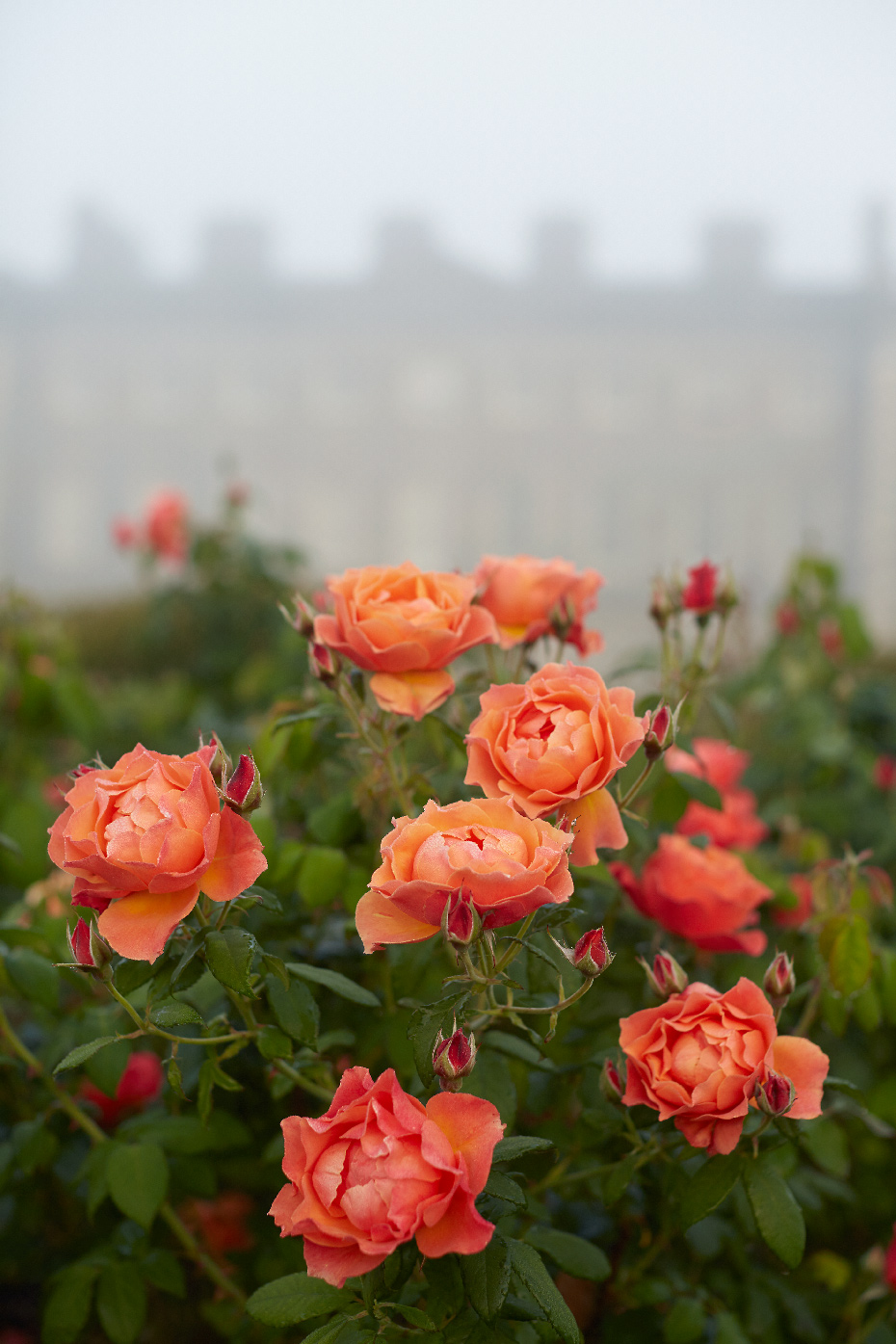 Stacey Van Berkel Photography I Carton House I coral roses in the morning fog I Kildare, Ireland