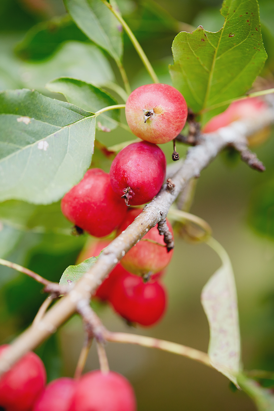 Stacey Van Berkel Photography I Red crabapple branch I Canadian Living Magazine