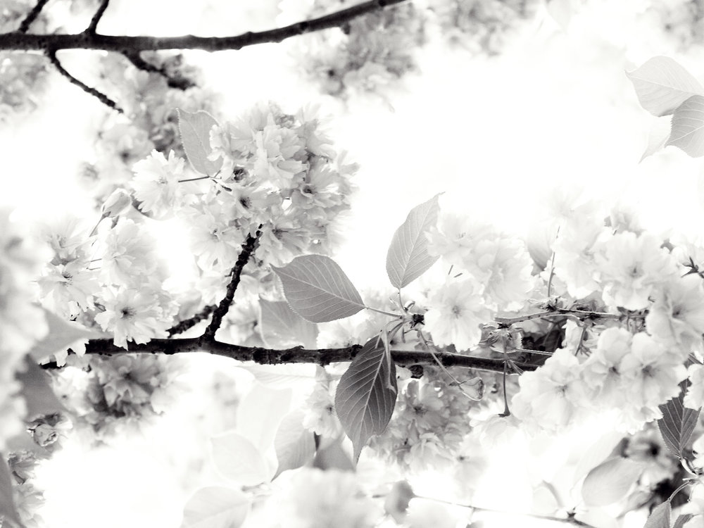 050108_CherryBlossoms_033F_BW_WEB.jpg