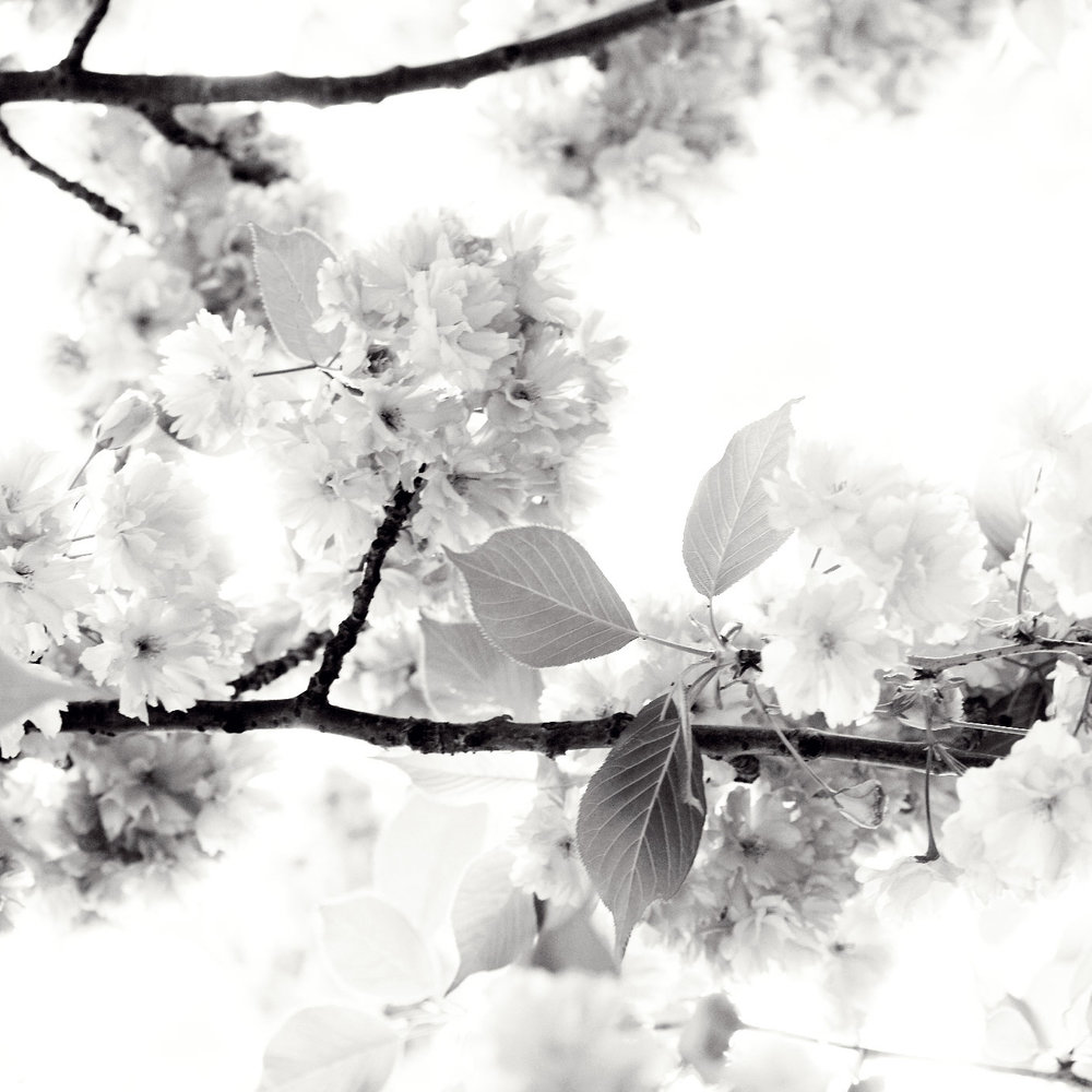 cherry blossoms vi