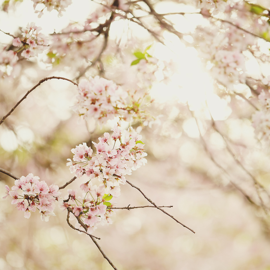 cherry blossoms vii