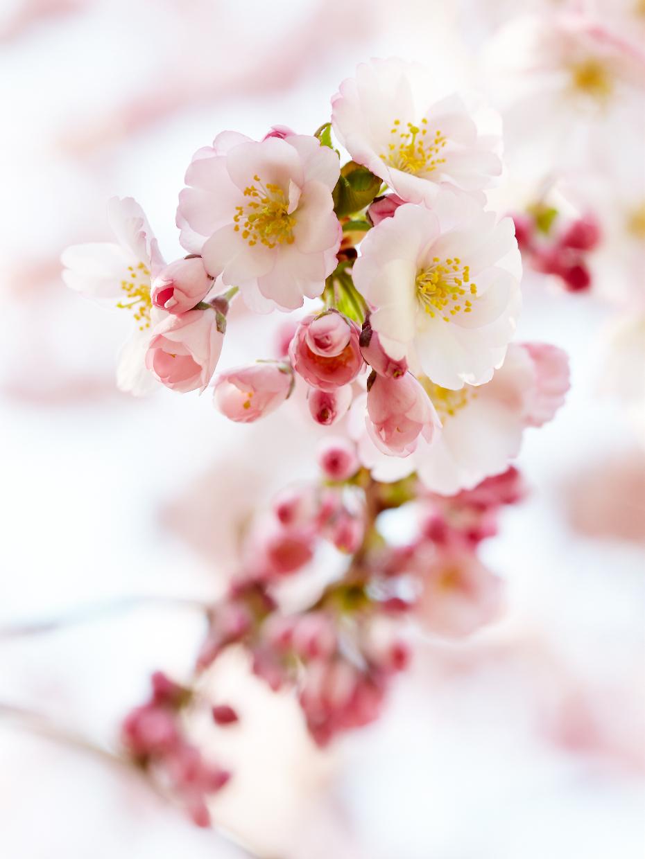 040410_CG_CherryBlossoms_062f_WEB.jpg