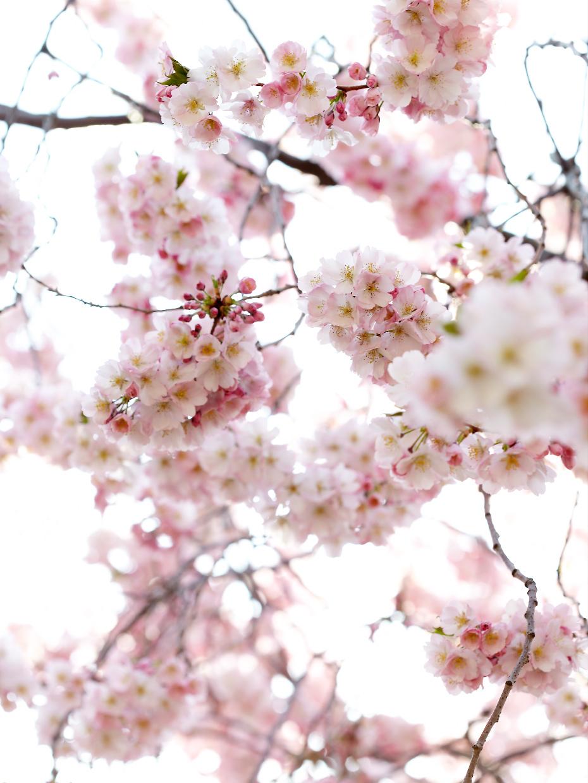 040410_CG_CherryBlossoms_063f_WEB.jpg