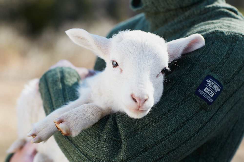 Abercrombie & Fitch and lamb