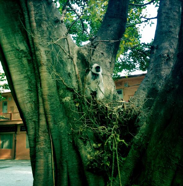 The black monkey, Parmarth Niketan Ashram, Rishikesh, India.