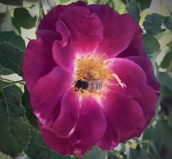 Bee in old rose variety, Huntigton Gardens, San Marino, California