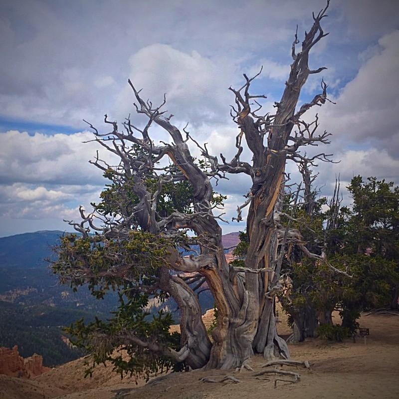 Bristlecone Pine, Southern Utah