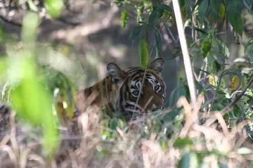 The tigress known as Machali. Ranthambore National Park. Photo credit: Katy Yocom