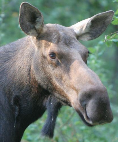 6_0__clock_moose.jpg