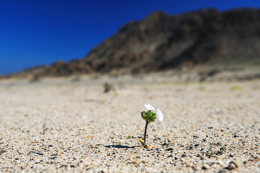 Single flower sprouting in the Atacama desert