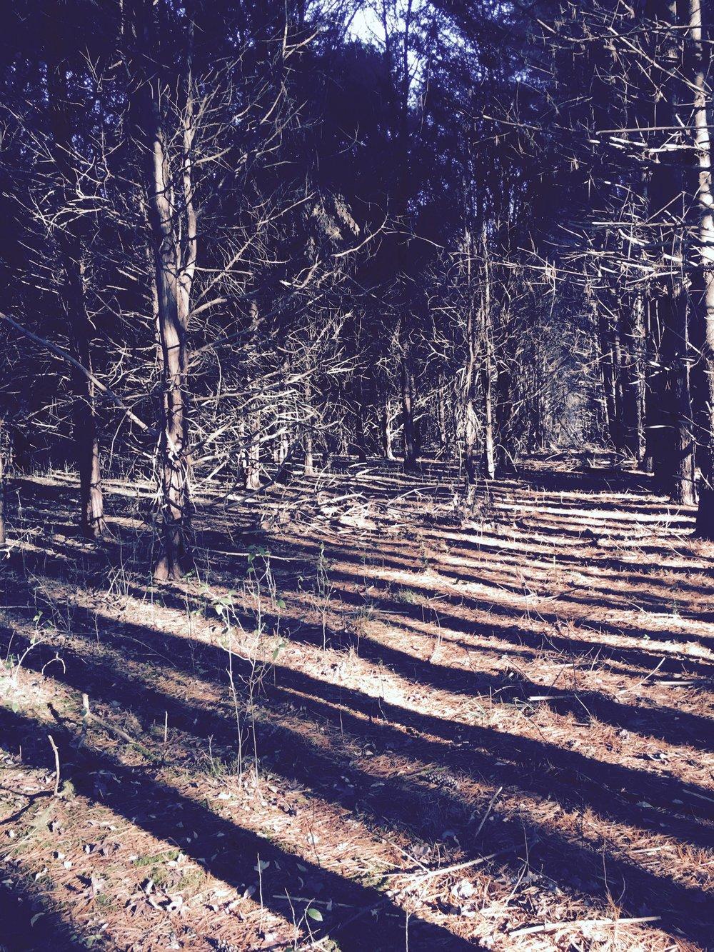 cedar pine.jpg