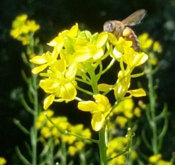 - Honey Bee on yellow mustard in Joslin Garden