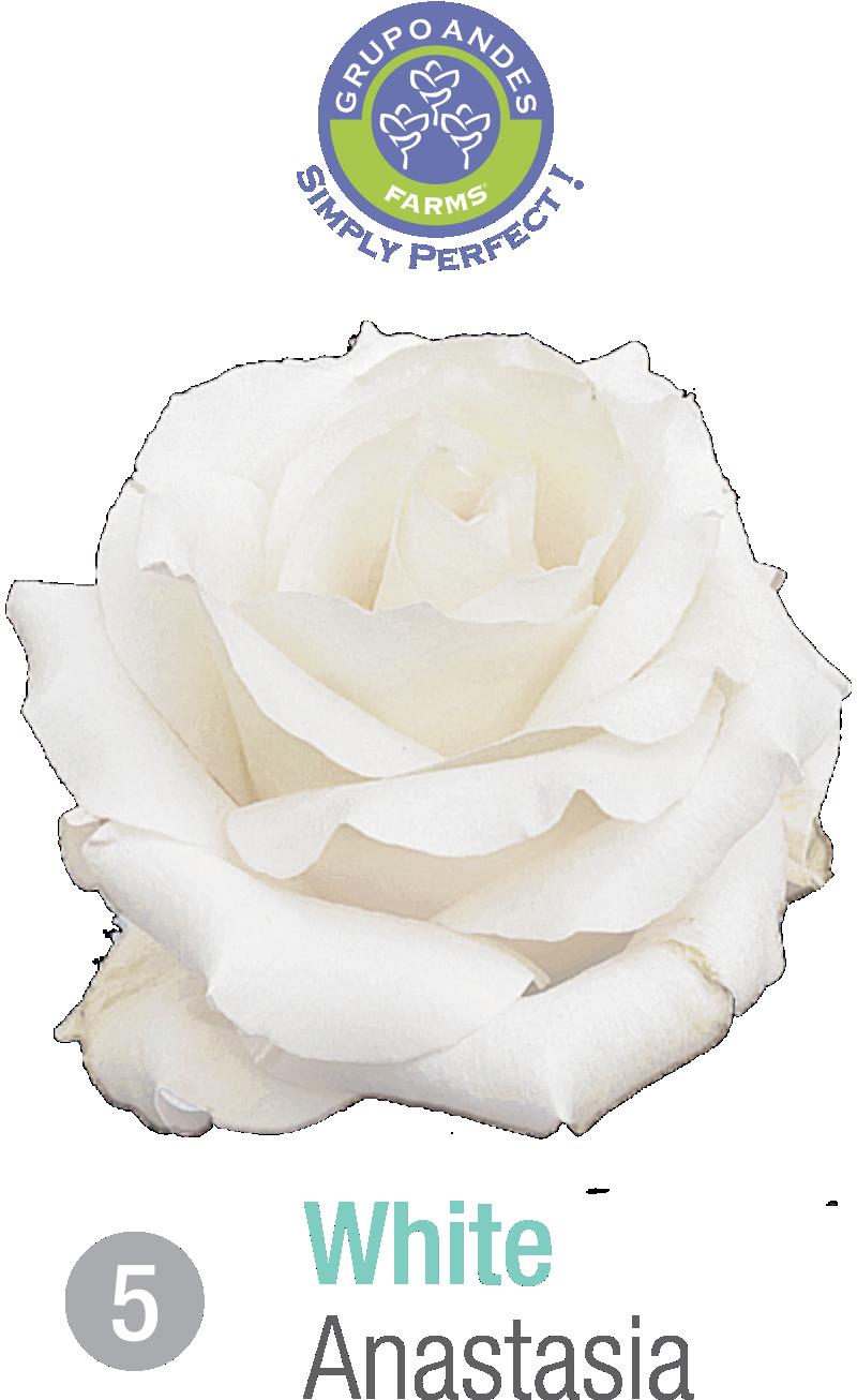 05 - Rosa Variedad Anastasia.png