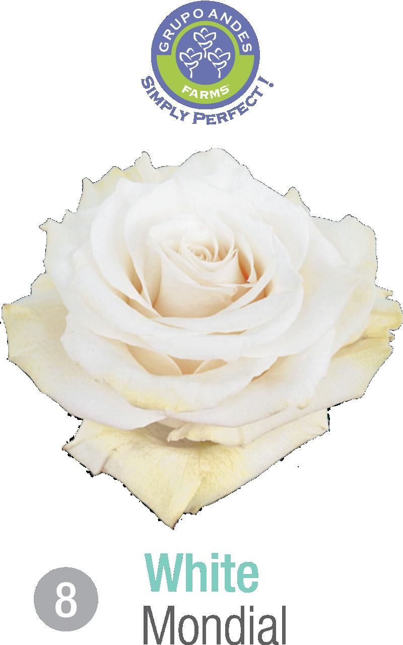 08 - Rosa Variedad Mondial.png