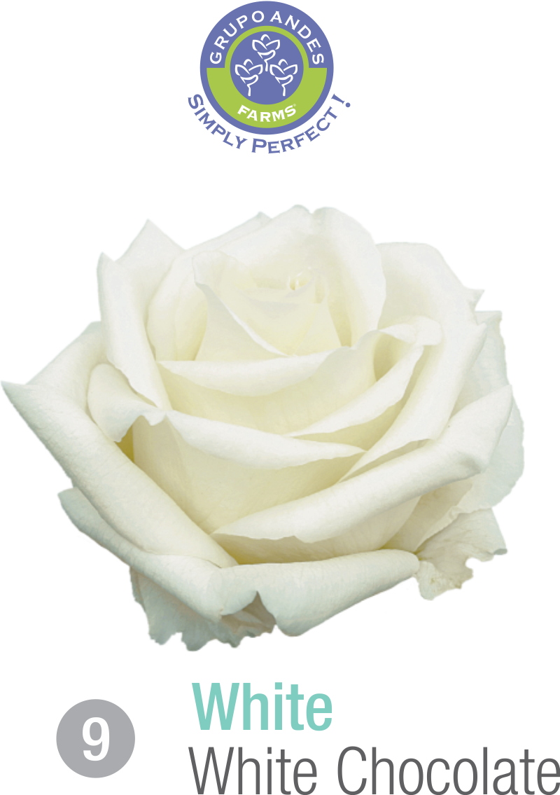 09 - Rosa Variedad White Chocolate.png
