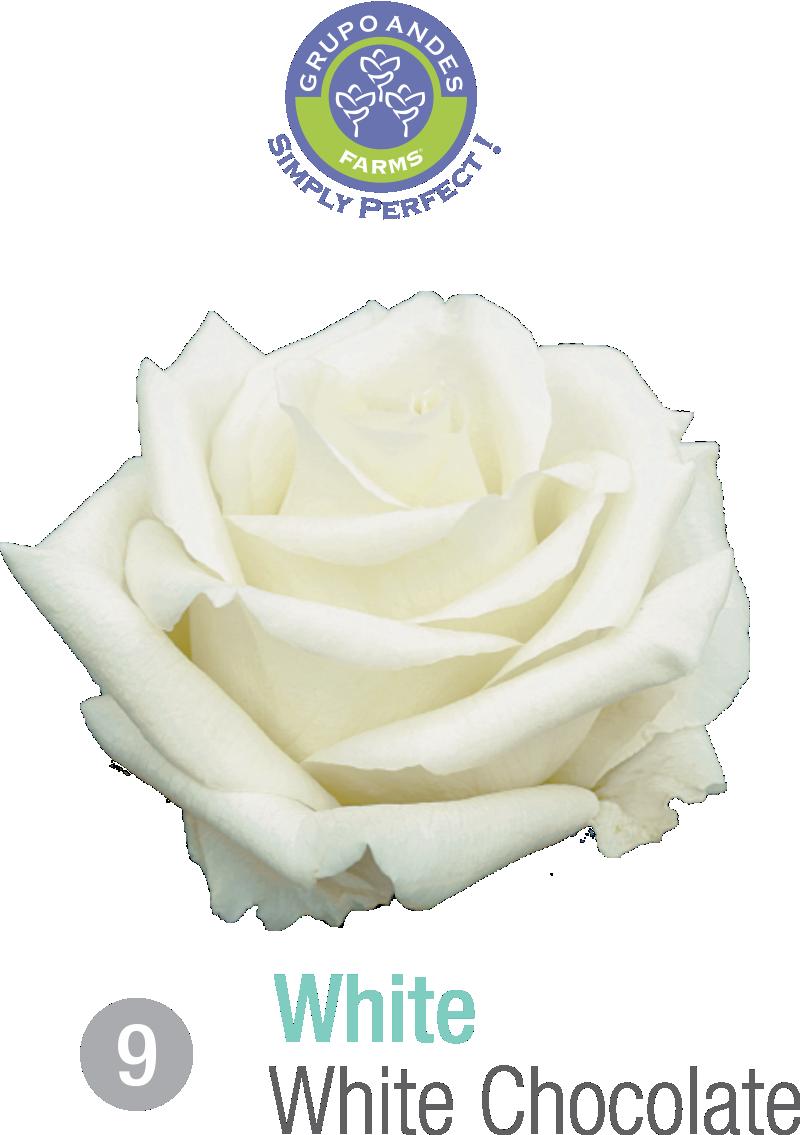09 - Rosa Variedad White Chocolate.png