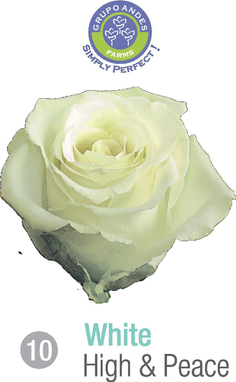 10 - Rosa Variedad High _ Peace.png