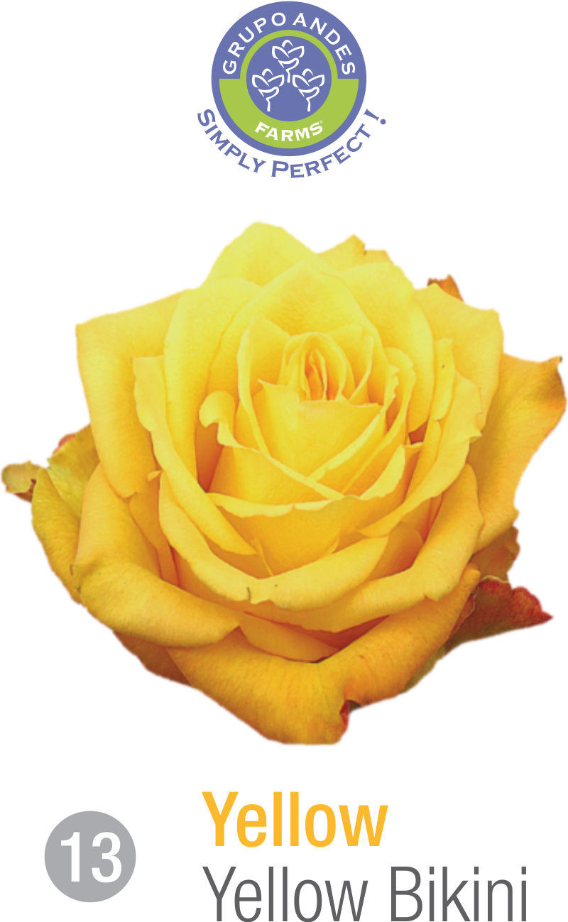 13 - Rosa Variedad Yellow Bikini.png