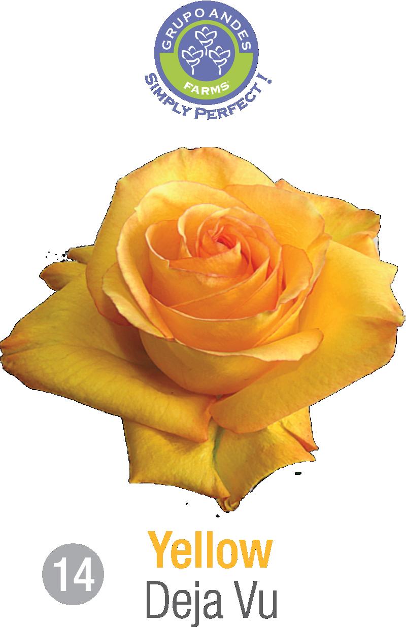 14 - Rosa Variedad Deja Vu.png