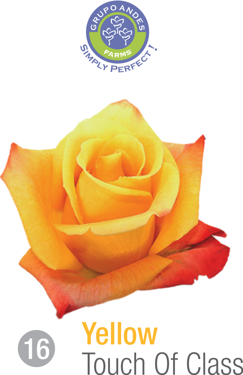 16 - Rosa Variedad Touch Of Class.png