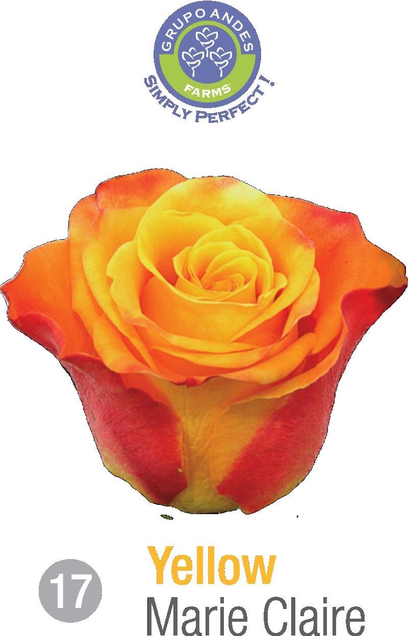 17 - Rosa Variedad Marie Claire.png