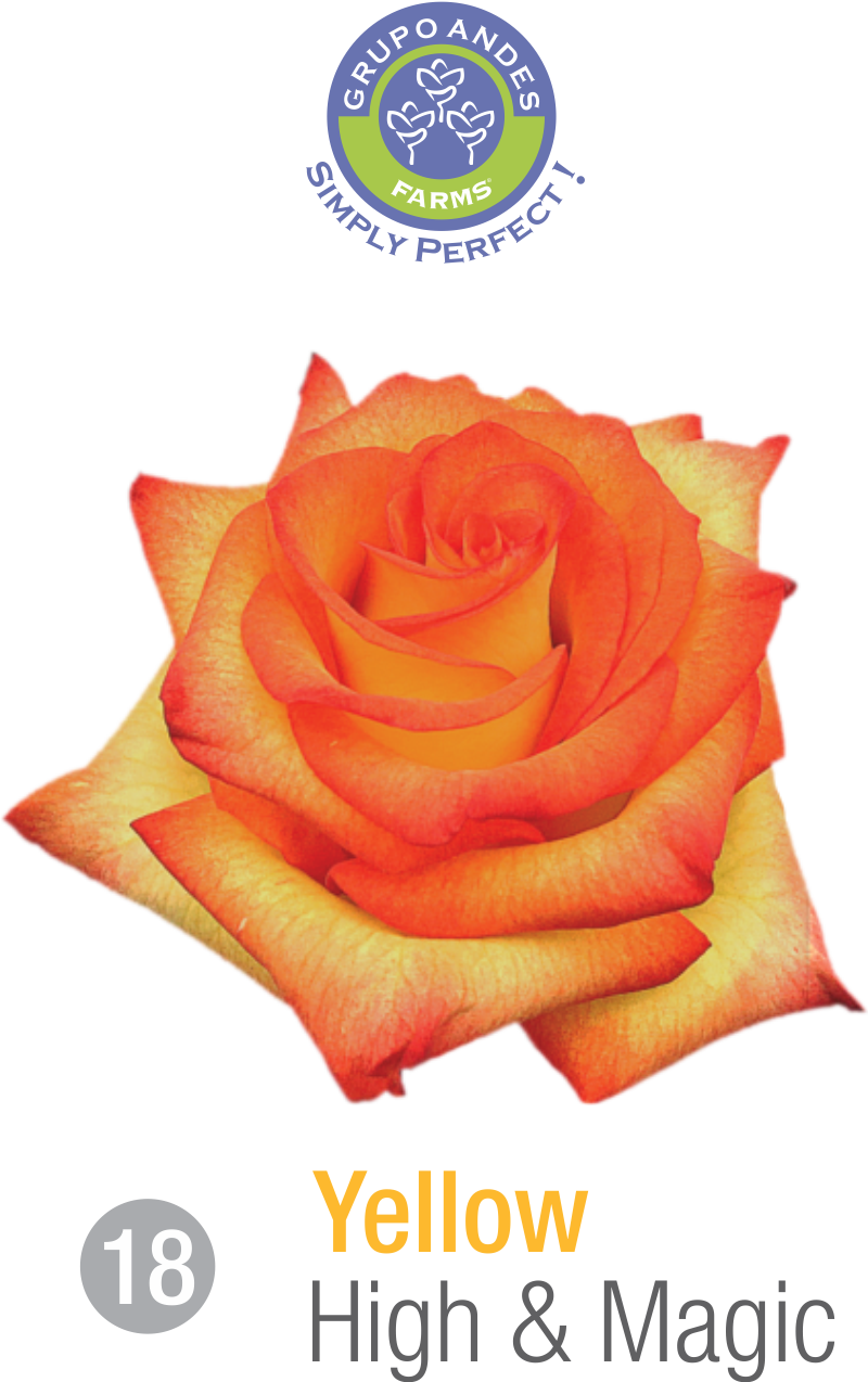 18 - Rosa Variedad High & Magic.png