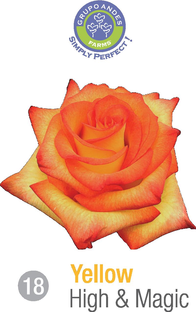 18 - Rosa Variedad High & Magic.png