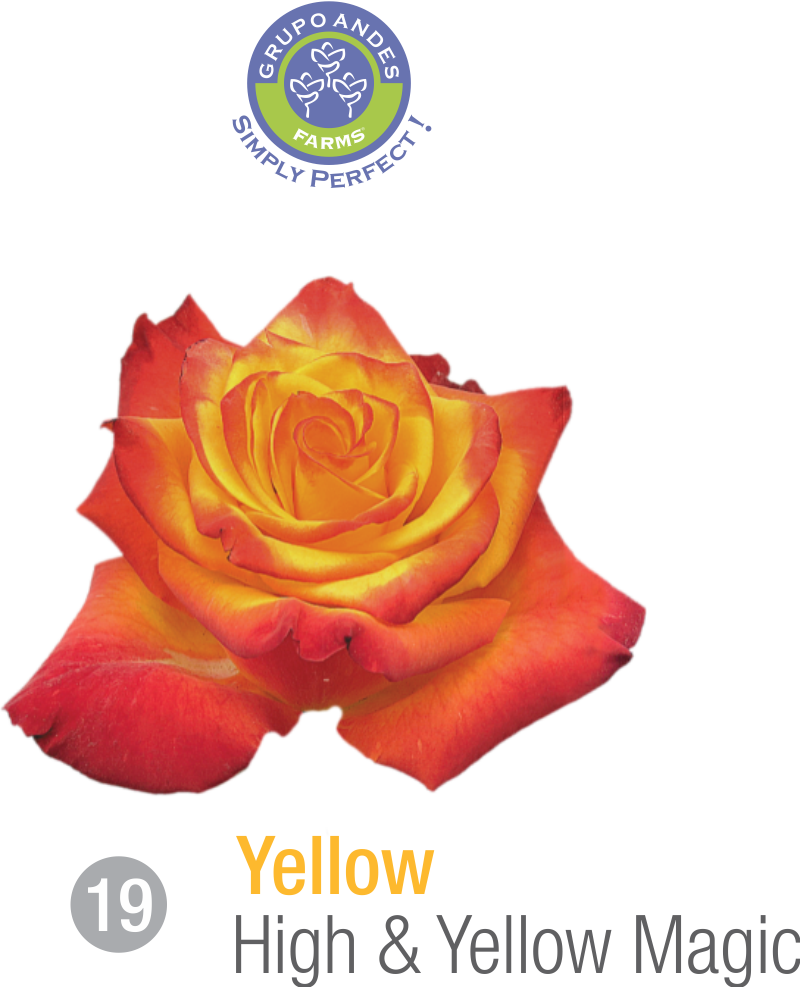 19 - Rosa Variedad High & Yellow Magic.png