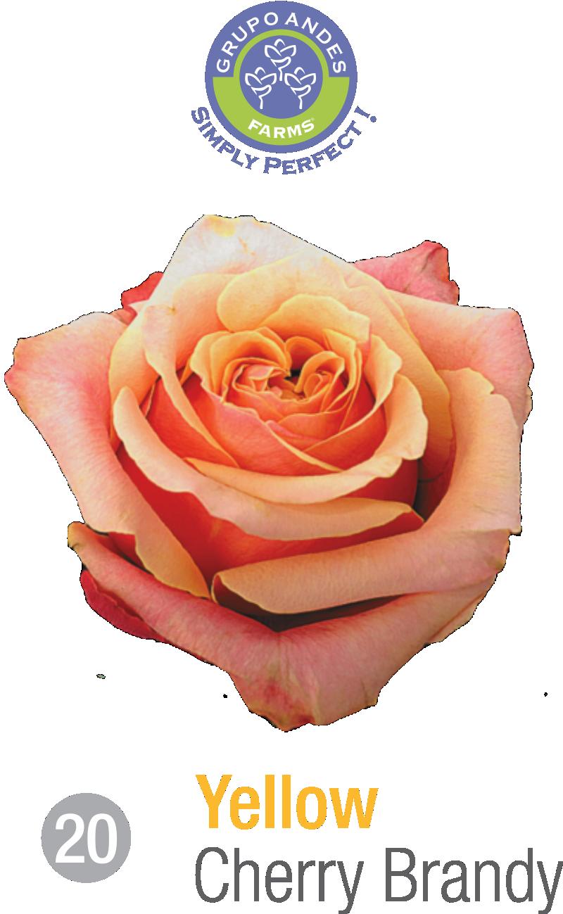 20 - Rosa Variedad Cherry Brandy.png