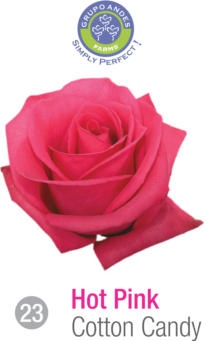 23 - Rosa Variedad Cotton Candy.png