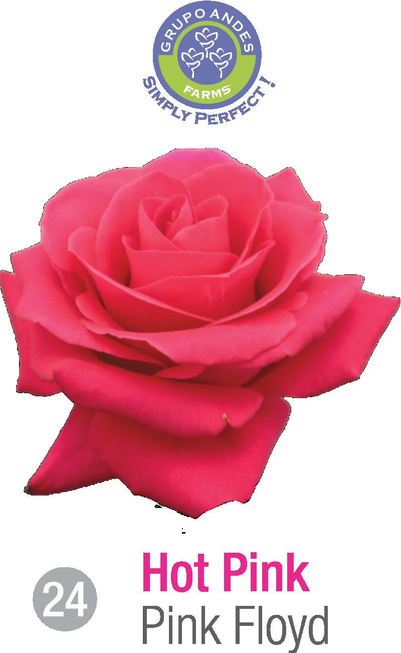 24 - Rosa Variedad Pink Floyd.png