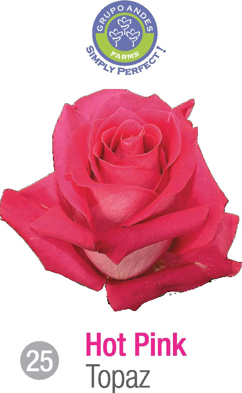 25 - Rosa Variedad Topaz.png