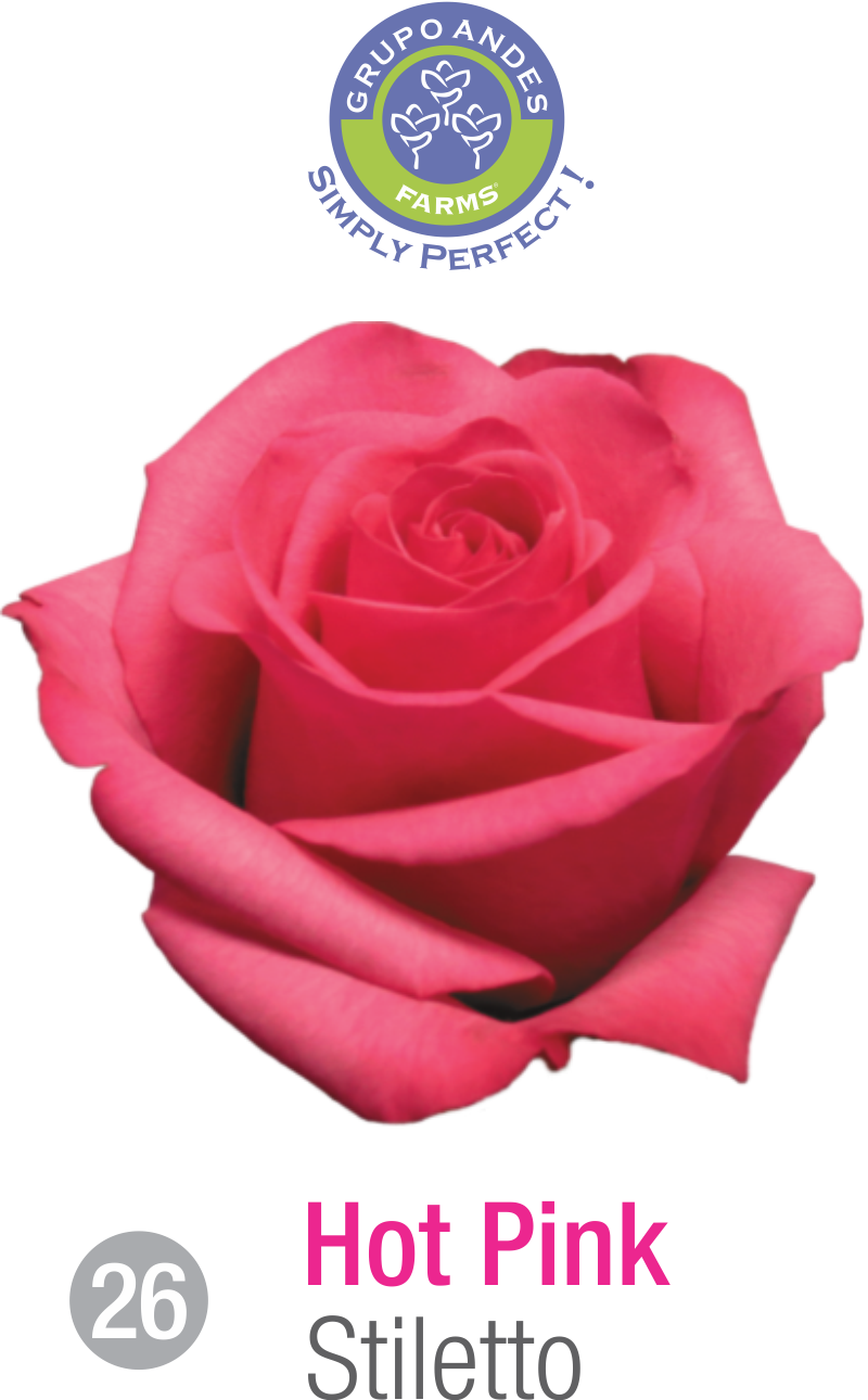 26 - Rosa Variedad Stiletto.png