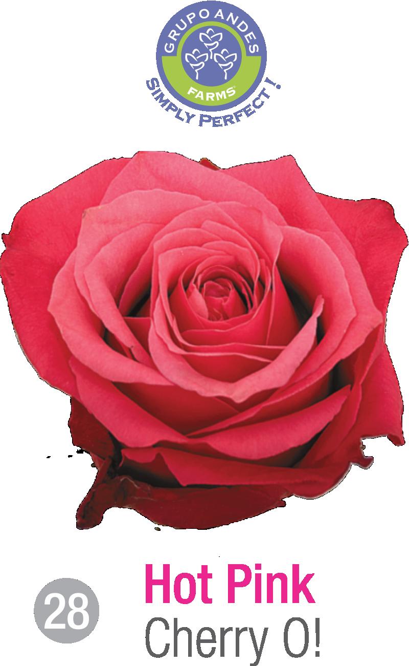 28 - Rosa Variedad Cherry O!.png