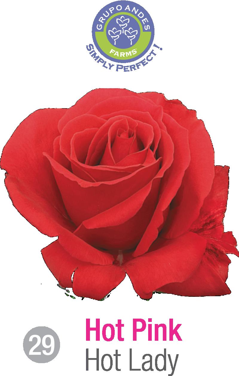 29 - Rosa Variedad Hot Lady.png